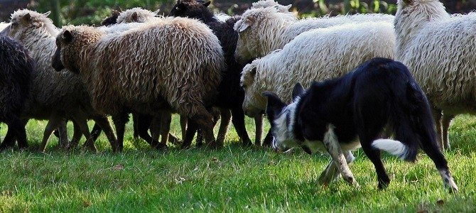 Skudde in de Border Collie Nieuws